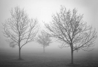 Trees in Fog III
