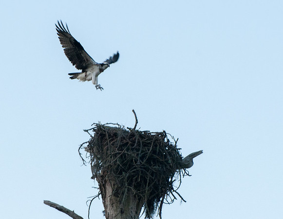 Osprey landing on its nest