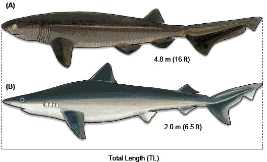 Diagrams of a Bluntnose Sixgill Shark and Tope Shark