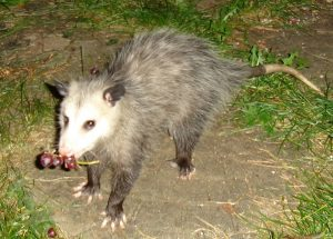 Opossum_with_grapes