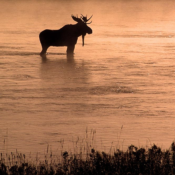 A moose standing in water at sunset.