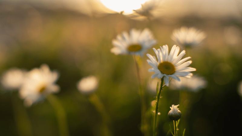 Shasta Daisys bloom in Westport, Massachusetts