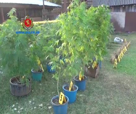 cannabis_plants_samegrelo