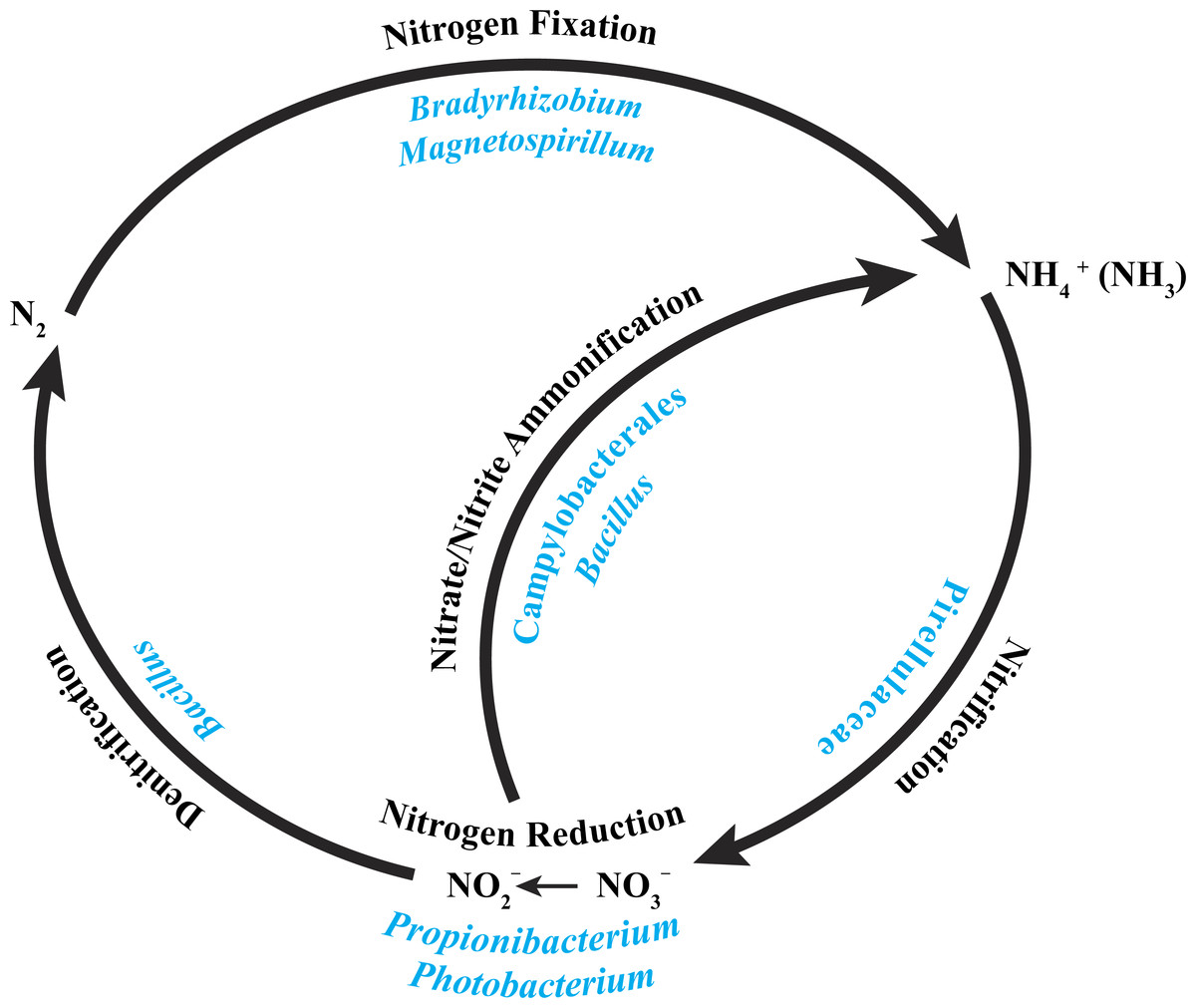 Simlified The Cycle Nitrogen Cycle Diagram