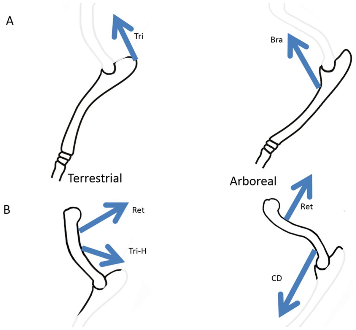 Forelimb Bone Curvature In Terrestrial And Arboreal