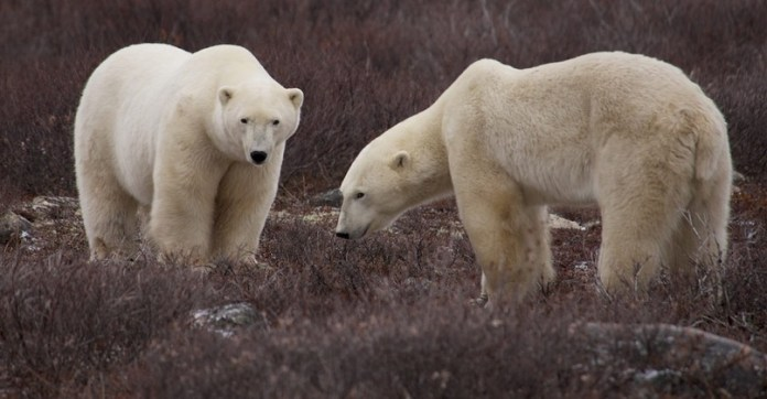 Vacation Trip to See Polar Bears Arctic Northern Lights