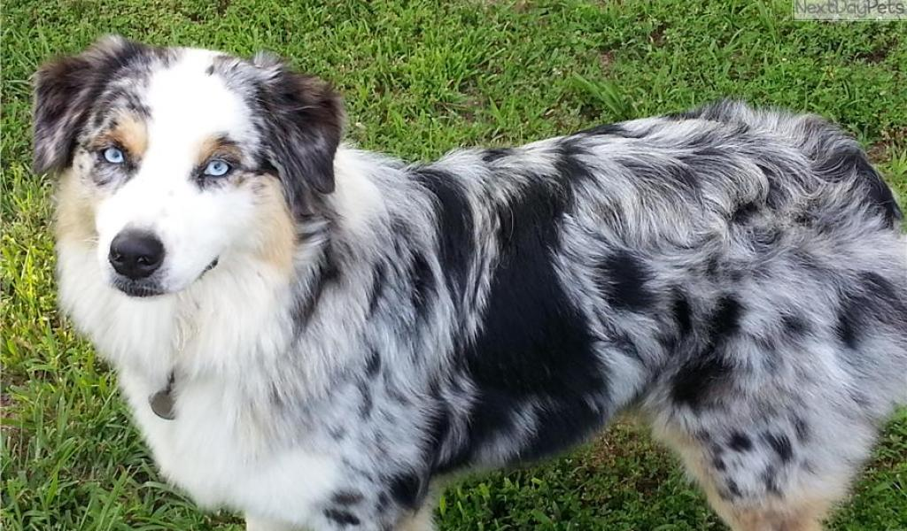 Australian Shepherd Puppies Nashville Tn - Photos of Animals