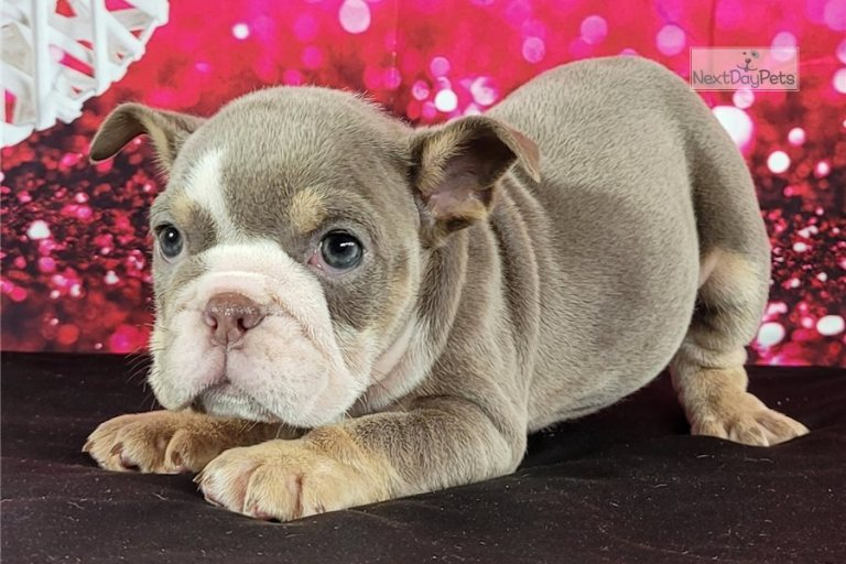 English Bulldog Puppies For Sale – Where to Find Them