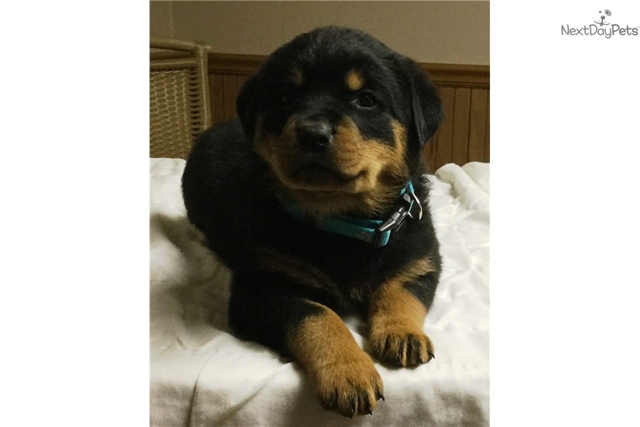 Rottweiler Puppies 250 Dollars