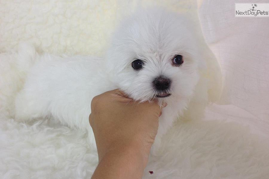 maltese puppy for sale near me teacup maltese puppies sale near me 4533