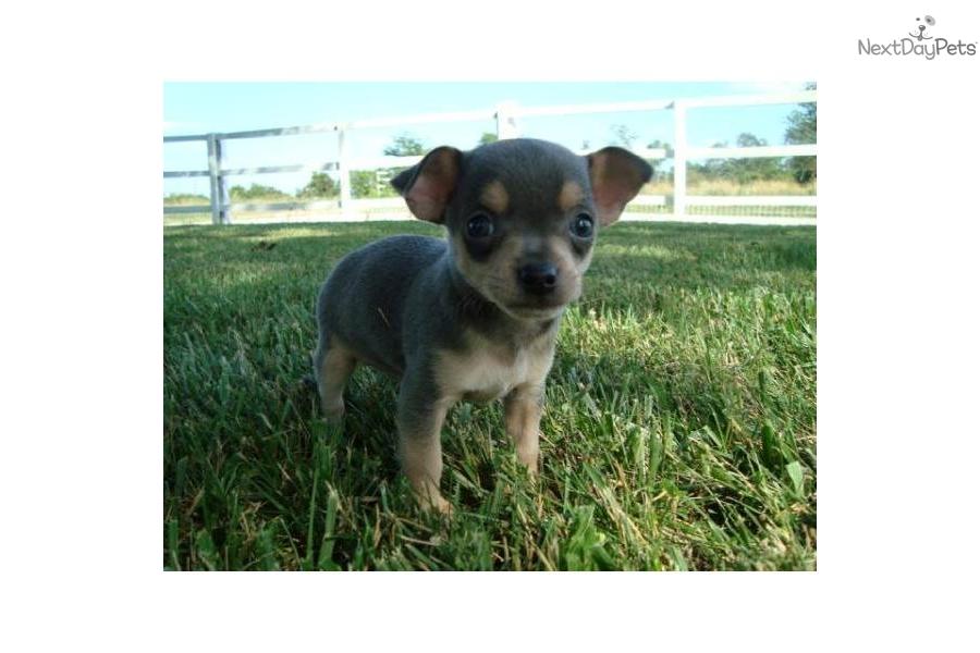 Meet Munchkin A Cute Chihuahua Puppy For Sale For 295 Munchkin