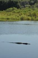 alligator_la chula (3)