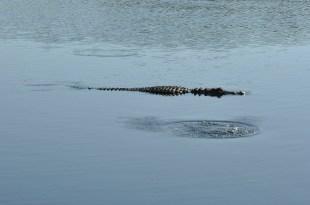 alligator_la chula (4)