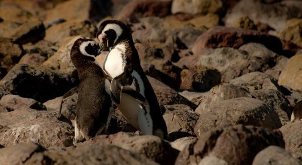 true love penguins