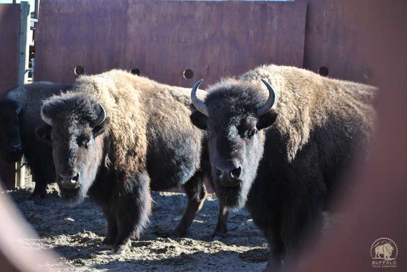 Yellowstone National Park Starts Capturing Wild Bison