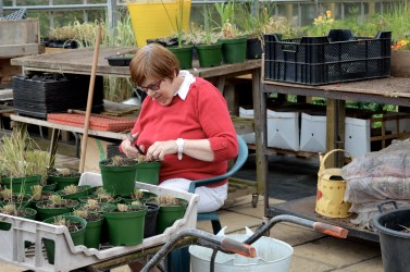 Potting up in the greenhouse