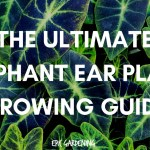 Elephant Ear Plant Care Planting And Growing Tips Epic Gardening