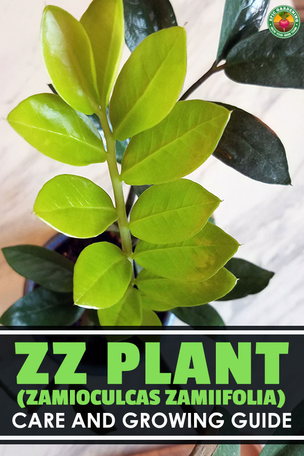 ZZ Plant (Zamioculcas Zamiifolia) Care and Growing Guide on Zz Plant Care  id=68403