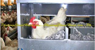 Lokasi Dalam Membangun Kandang Ayam