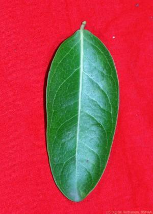 Karamja single dorsal leaf