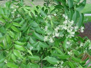 Neem-the-most-medically-useful-tree-of-all-time