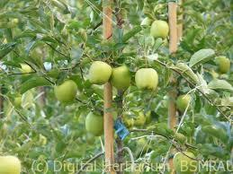 Green apple plant