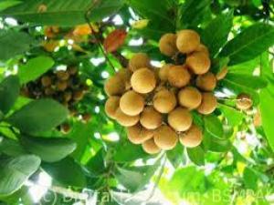 longan-fruit