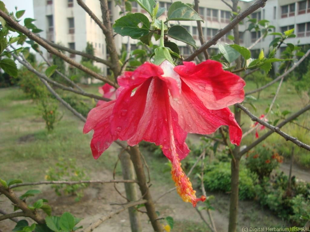 China Rose Digital Herbarium Of Crop Plants