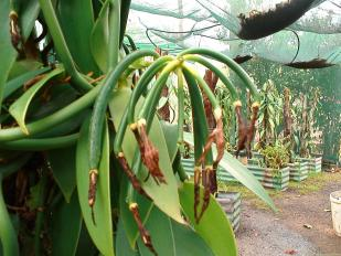 vanilla-orchid-cuttings-3087