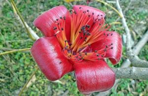1024px-bombax_ceiba_flower_in_lantau_island_hong_kong