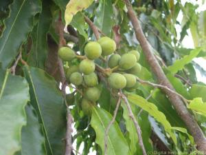debdaru-fruit