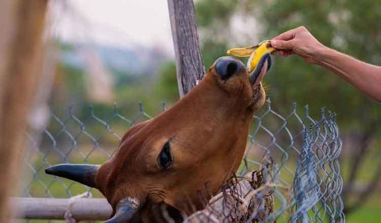 banana-for-cow