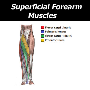 superficial forearm muscles