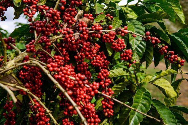 Produção de café terá safra recorde no Brasil em 2020
