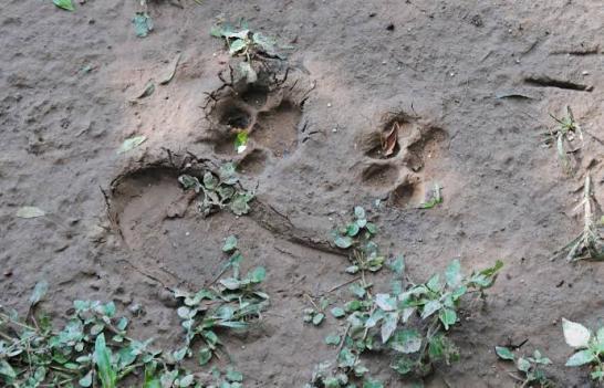 Onça-parda, animal ameaçado de extinção, aparece em Iconha e assusta moradores