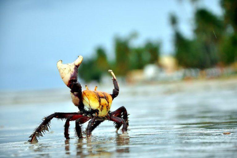 Período de andada do caranguejo-uçá começa no dia 30 de dezembro