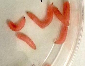 modified-green-bottle-fly-larvae
