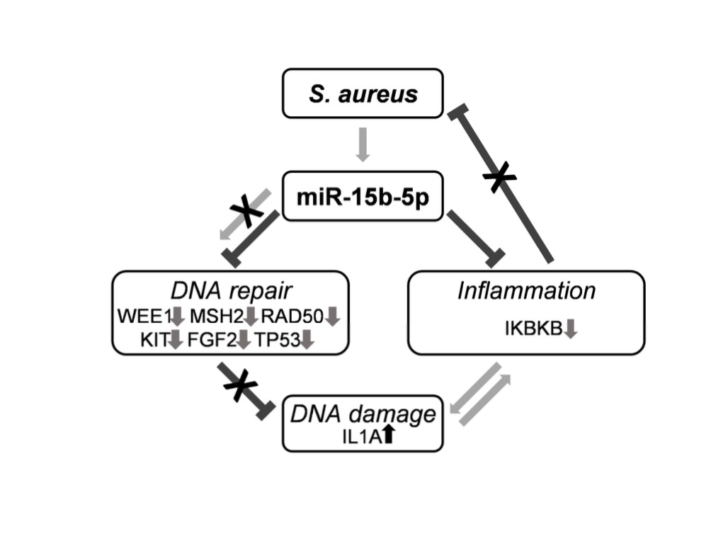 Staphylococcus Aureus Diminishes DNA Repair and De-Regulates inflammatory Response in Diabetic Foot Ulcers