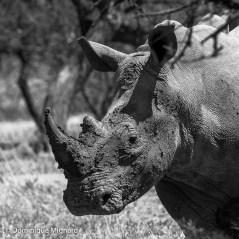 Rhino_BW
