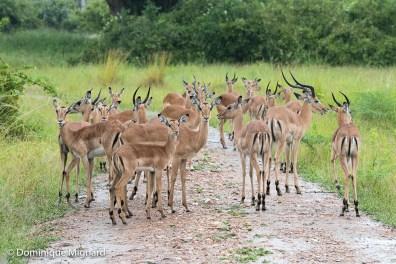 Groupe d'impalas.