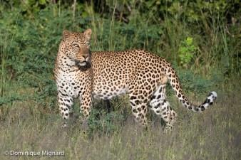 Léopard mâle