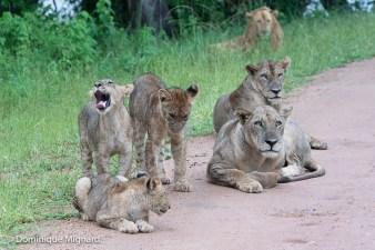 En ces temps humides, les lions se reposent souvent sur la piste.