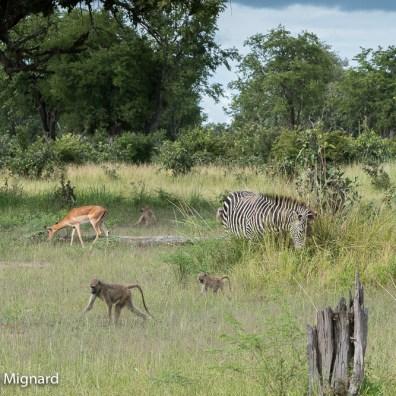 Impalas, zèbres et babouins.