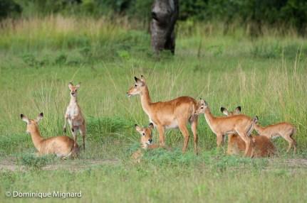 Groupe de puku, femelles et jeunes.