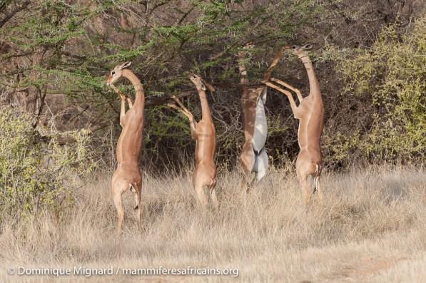 Gazelle de Waller (Gerenuk) - Litocranius walleri - Réserve de Samburu
