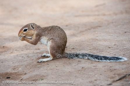 Ecureuil fouisseur africain - Xerus rutilus - Réserve de Samburu