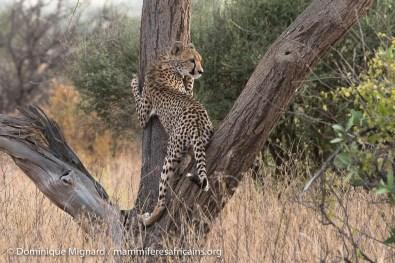 Guépard - Acinonyx jubatus - Réserve de Samburu