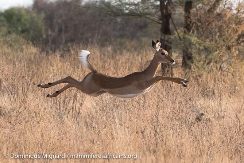 Impala - Aepyceros melampus - Réserve de Samburu