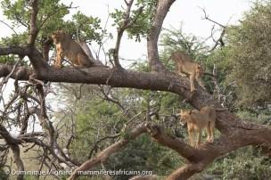 Lion - Panthera leo - Réserve de Samburu