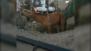 extraccion caballo3